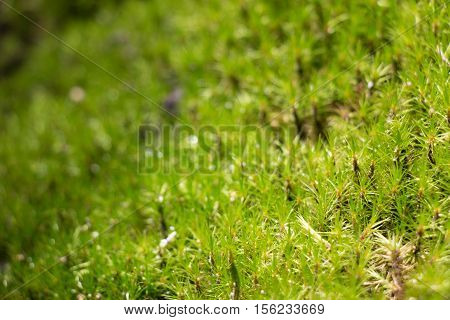Green Moss In Rain Forest, Small Flowerless Plant