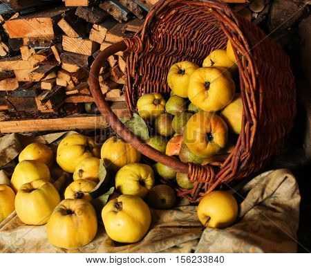 quince much spilled from the basket. pears and apples on a background of wood