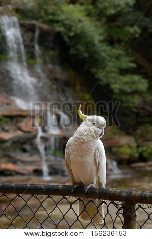 Cockatoo Sit On A Fance In Of Katoomba Falls New South Wales Australia