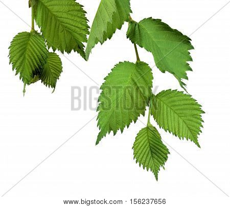 Branches with leaves of elm. / Isolated on white background without shadow. / Nature in detail. Summer. Spring. Close-up.(Ulmus Laevis)