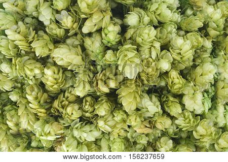 Hop cones close up. Texture. Top view. Brewing. Healing herbs. Concept. Ingredients .Daylight.