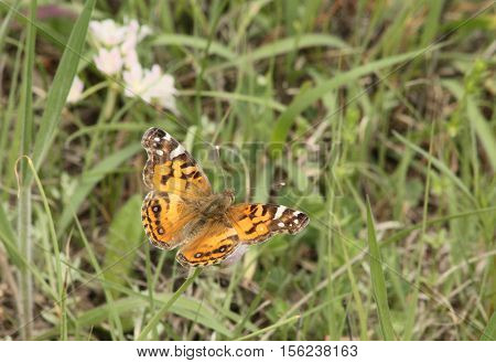 A beautiful black and orange painted lady butterfly sits, with wings spread, on white wildflowers surrounded by green grass with white wildflowers in the background.