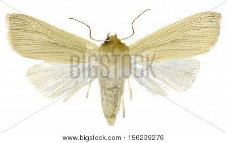 Common Wainscot on white Background - Mythimna pallens (Linnaeus 1758)