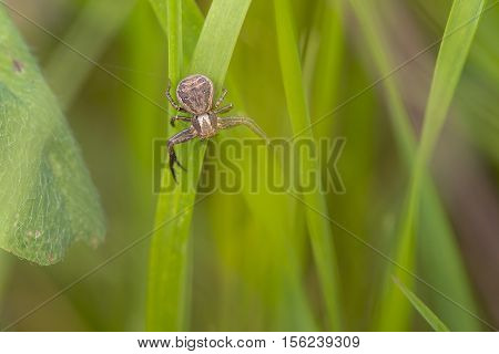 Common Crab Spider (Xysticus cristatus) resting on a Grass-Stalk