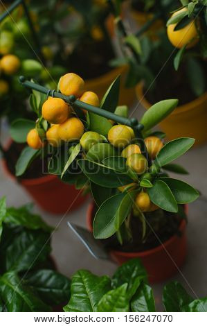 Calamondin is called by many names including: calamonding calamondin orange calamansi calamandarin golden lime kalamunding kalamansi Philippine lime Panama orange Chinese orange musk orange and acid orange.