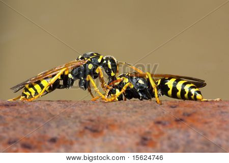 Fighting Wasp