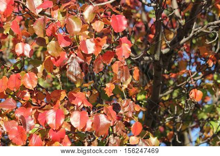 Red shinny leaves of fall showing beautiful details