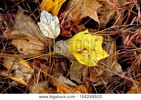 Fall sweet gum leaf on bed of dried leaves and pine straw