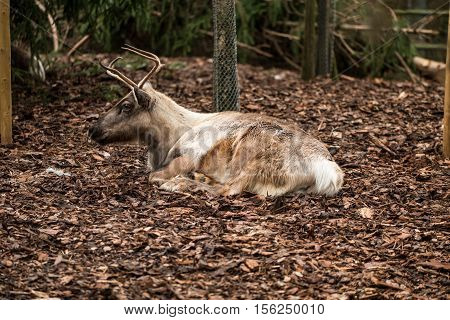 Deer With Small Antlers Laying On Brown Leaves
