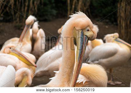 Pelicans Standing In Line Showing Their Beaks In A Zoo