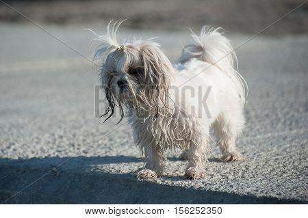 Bichon dog - - on the beach.
