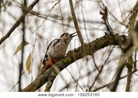 Great spotted woodpecker (Dendrocopos major) feeding on aphids. Adult bird in the family Picidae feeding on small insects on branch of tree in Somerset UK