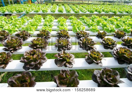 Hydroponic vegetables growing in greenhouse Thailand Butterhead lettuce