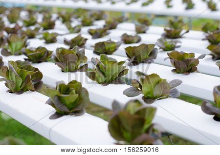 Sprout hydroponic vegetables growing in greenhouse Thailand Red butterhead lettuce