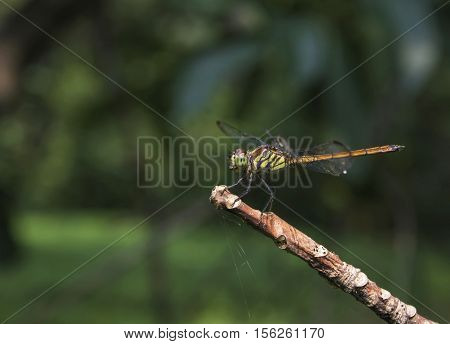 Dragonfly Perched on twigs look beautiful.(Dragonfly yellow)