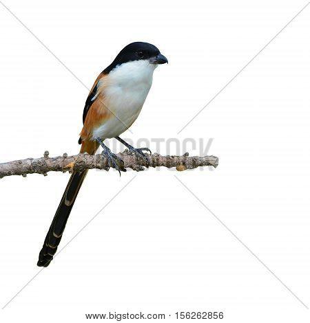 Long-tailed Shrike Bird