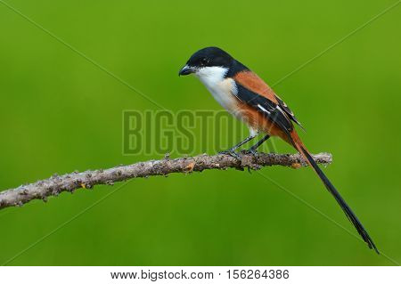 Long-tailed Shrike Bird