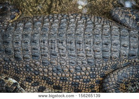 Skin of Amphibian Prehistoric Crocodile,Alligator or crocodile animals closeup