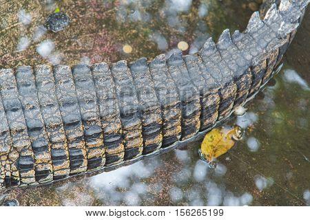 Tail of Amphibian Prehistoric Crocodile,Alligator or crocodile animals closeup
