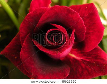 rose red color close