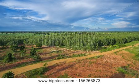 Reforestation of eucalyptus for production nature background.