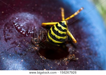 Yellow Jacket - Vespula Squamosa