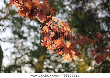 Maple leaves with sunlight reflecting beautiful shadows