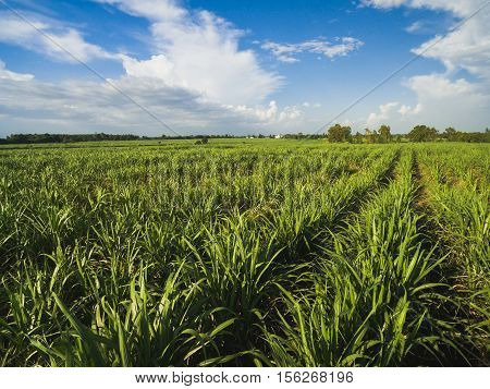 sugarcane field with blue sky nature background.