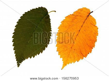 Pressed and dried leaves of Field Elm (Ulmus minor) on white background for use in scrapbooking