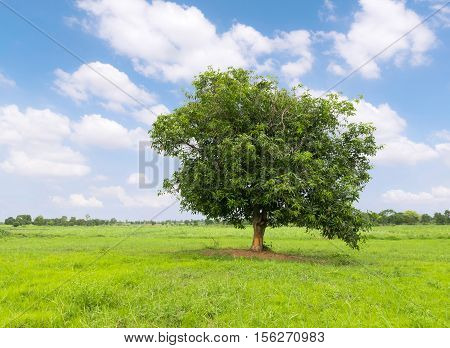 Mango tree on the green grass nature background .
