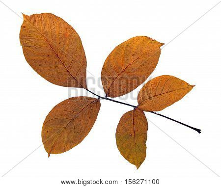 Pressed and dried leaf of walnut (Juglans regia) on white background for use in scrapbooking