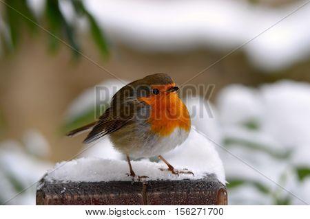 birdwatching of european robin bird in winter