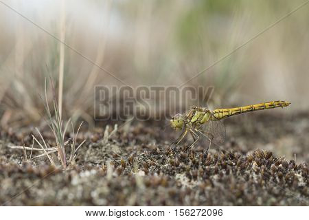 Vagrant darter Sympetrum vulgatum, closeup nature photo
