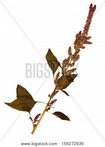 Pressed and dried flowers and leaves of foxtail amaranth (Amaranthus caudatus) on stem with leaves isolated on white background for use in scrapbooking floristry (oshibana) or herbarium.