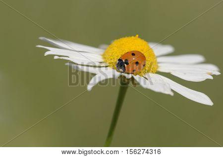 seven-spotted ladybug on a flower - Coccinella septempunctata, closeup nature photo