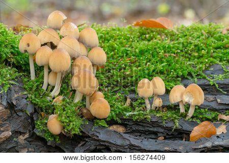 Mica cap - Coprinus micaceus, closeup nature photo