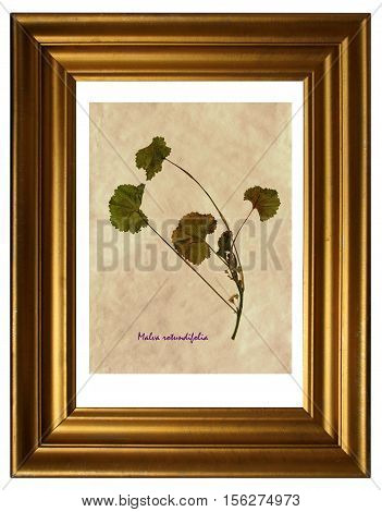 Herbarium from pressed and dried flower of Malva rotundifolia (Malva rotundifolia) in the frame.