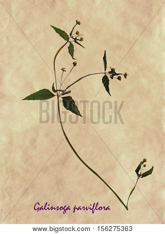 Herbarium from pressed and dried flowers and leaves of gallant soldier on antique brown craft paper with Latin subscript Galinsoga parviflora.