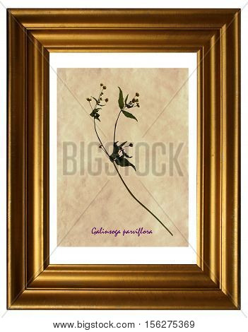 Herbarium from pressed and dried flowers and leaves of gallant soldier (Galinsoga parviflora) in the frame.