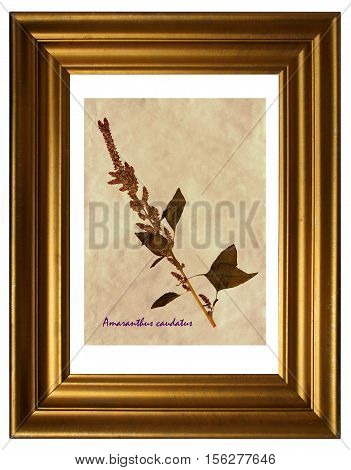 Herbarium from pressed and dried flowers and leaves of foxtail amaranth (Amaranthus caudatus) in the frame.