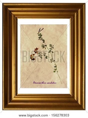 Herbarium from pressed and dried flowers and leaves of yellow lucerne (Medicago falcata) in the frame.