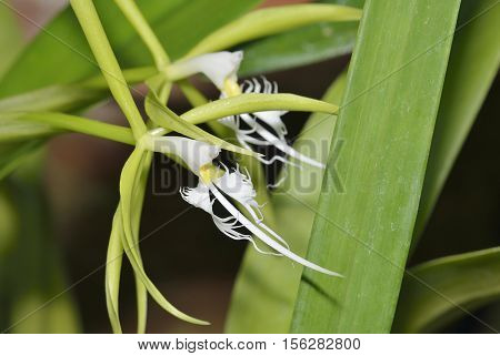 Hairy-Lip Epidendrum Orchid - Epidendrum ciliare From Central & South America