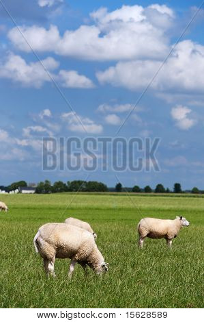 Herd of sheep in Dutch flat landscape poster