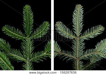 European silver fir branch upper side on black background. Foliage of Abies alba, an evergreen coniferous tree. Glossy dark green needle like leaves above, whitish wax covered bands of stomata below.