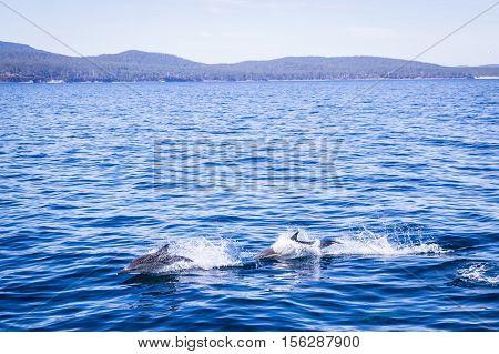 Wild dolphin school jumping in front of Maria Island, Tasmania