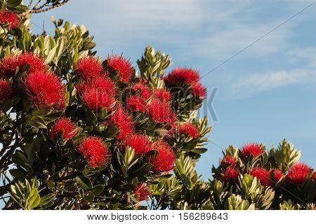 closeup of red pohutukawa tree flowers against blue sky