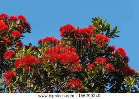 isolated red pohutukawa flowers on blue background