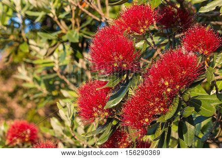detail of metrosideros excelsa red flowers in bloom
