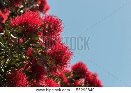 Metrosideros excelsa - New Zealand Christmas tree