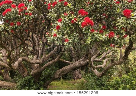 closeup of Pohutukawa tree with red flowers in bloom